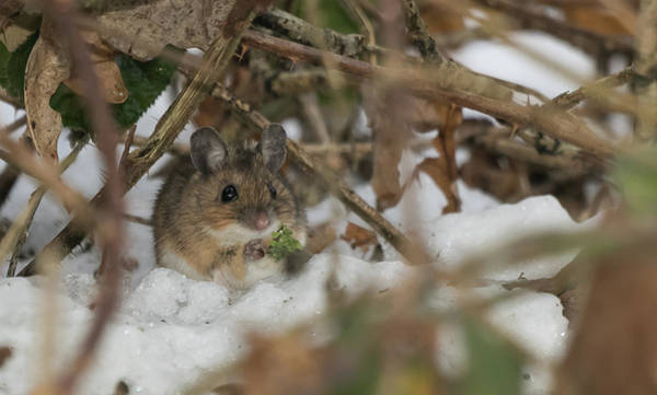 Photograph - Wood Mouse by Wendy Cooper