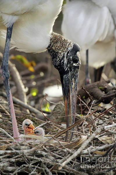 Wall Art - Photograph - Wood Stork And Her Babies by Darren Fisher