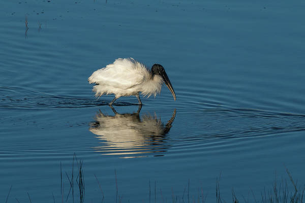 Photograph - Wood Stork Forging For Food In The Marsh by Dan Friend