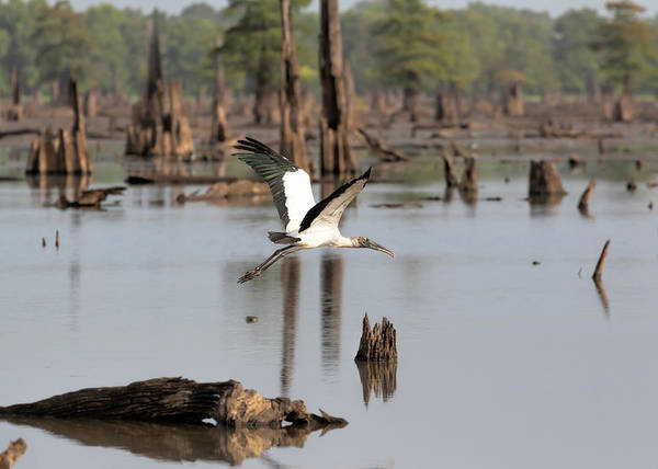 Photograph - Wood Stork In Flight by Susan Rissi Tregoning