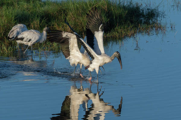 Photograph - Wood Stork Taking Off From The Water by Dan Friend