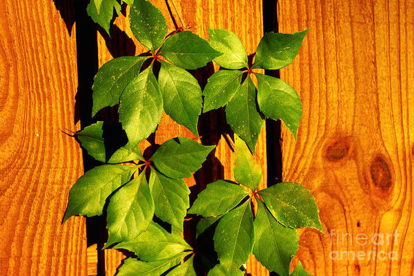 Wall Art - Photograph - Wood With Green Leaves by Zal Latzkovich