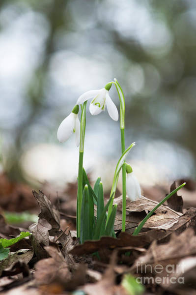 Photograph - Woodland Snowdrops by Tim Gainey