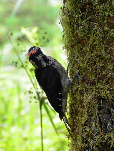 Photograph - Woodpecker In Olypic National Park B by Bruce Gourley