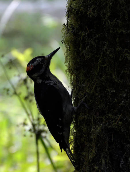 Photograph - Woodpecker In Olypic National Park by Bruce Gourley