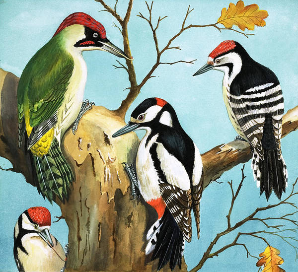 Wall Art - Painting - Woodpeckers by English School