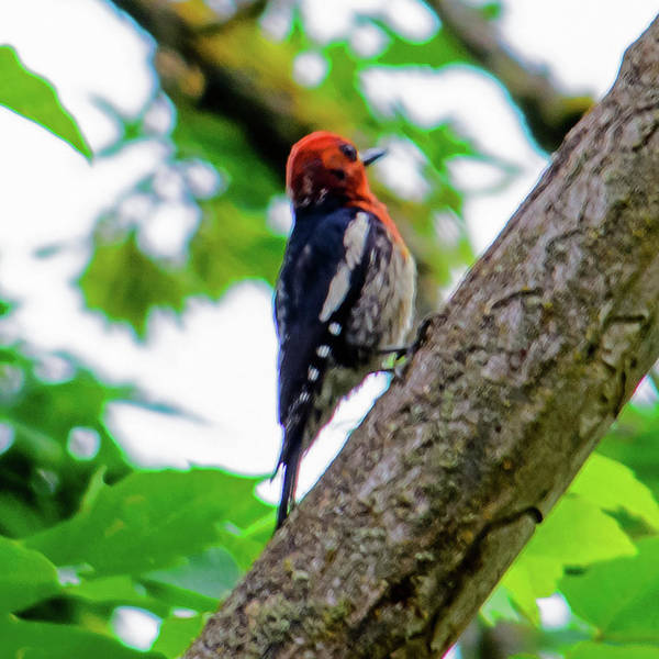 Photograph - Woody Woodpecker by Tikvah's Hope