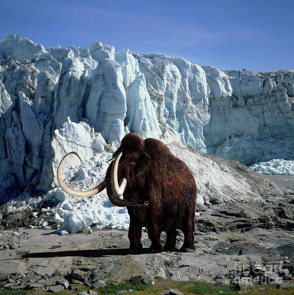 Photograph - Woolly Mammoth by Warren Photographic