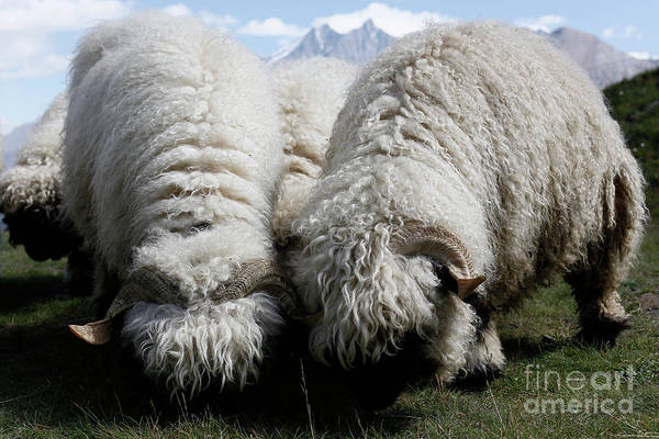 Photograph - Woolly Sheep Grazing On The Mountain by Joaquin Corbalan