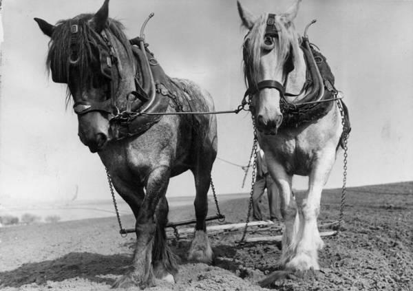 Plowing Photograph - Workhorses by Maeers
