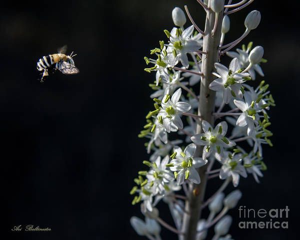 Photograph - Working Bee by Arik Baltinester