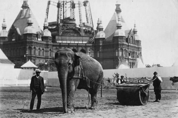 Pulling Photograph - Working Elephant by Topical Press Agency