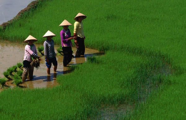 Working Photograph - Working The Rice Paddies Of Northern by Oliver Strewe