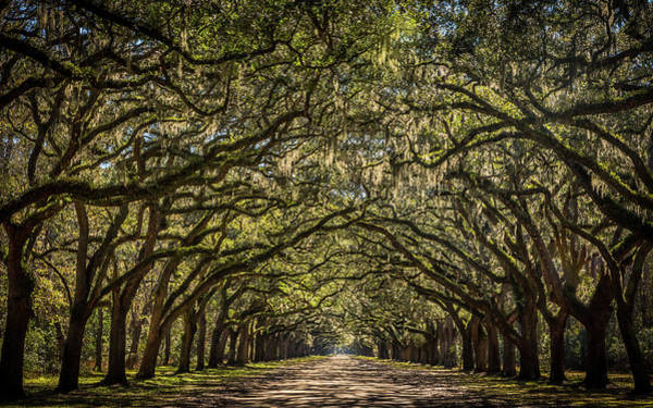 Photograph - Wormslow Oaks by Framing Places
