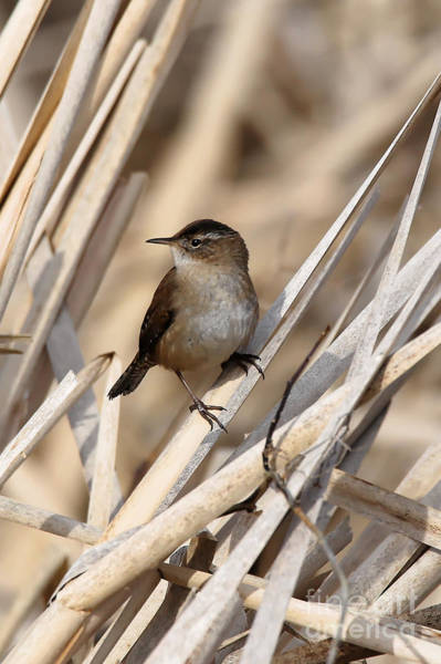 Photograph - Wren In The Marsh Land by Sue Harper