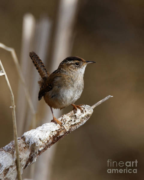 Photograph - Wren On Bulrush by Sue Harper
