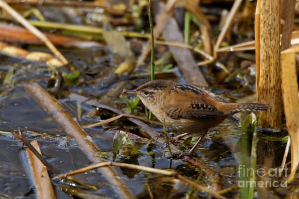 Photograph - Wren On March Edge by Sue Harper