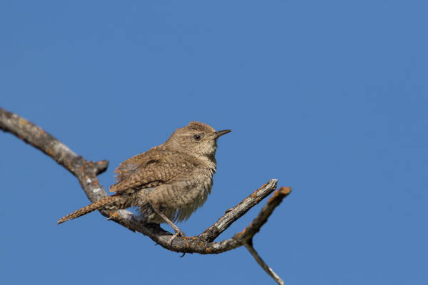 Photograph - Wren by Ronnie and Frances Howard