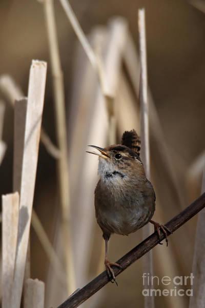 Photograph - Wren Song by Sue Harper