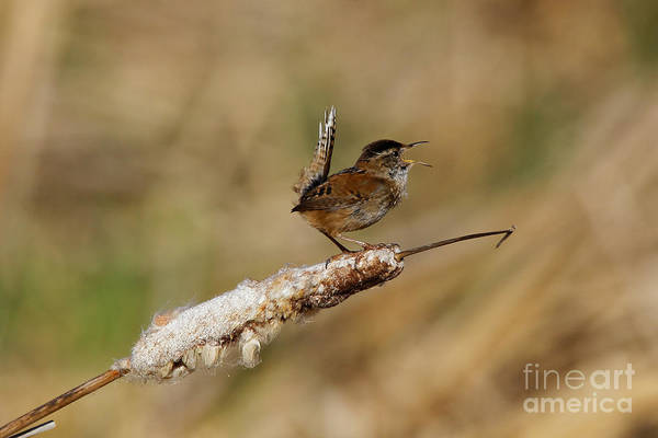 Photograph - Wren Strong Song by Sue Harper