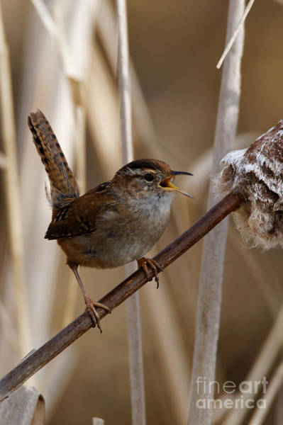 Photograph - Wren Sweet Song by Sue Harper