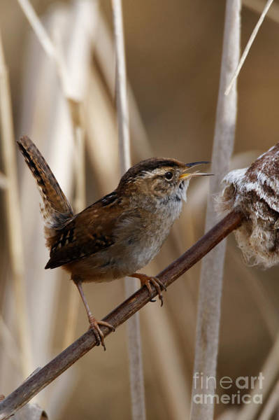 Photograph - Wren - Territory Song by Sue Harper