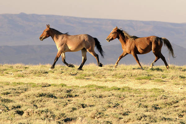 Mare Photograph - Wyoming Wild Stallion And Mare Trotting by Elementalimaging