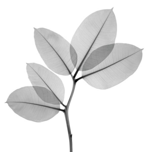 Wall Art - Photograph - X-ray Image Of Rubber Plant Leaves On by Nicholas Veasey