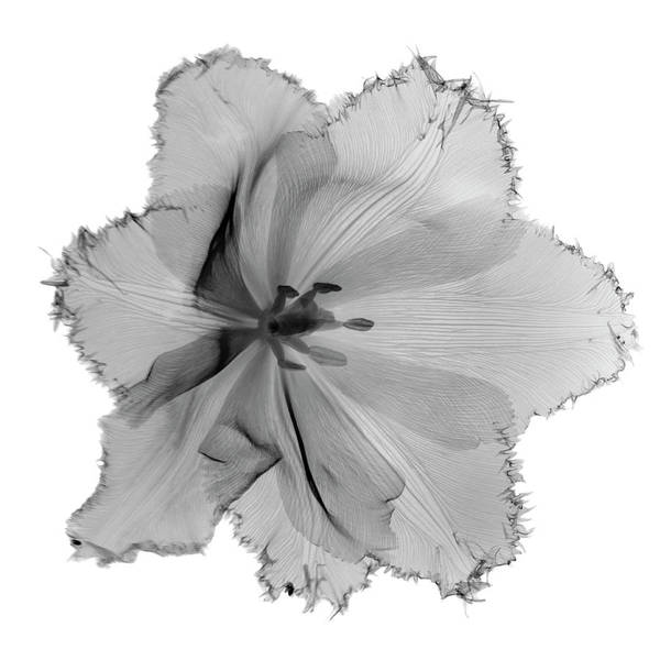 White Background Photograph - X-ray Image Of Tulip Flower Head On by Nicholas Veasey