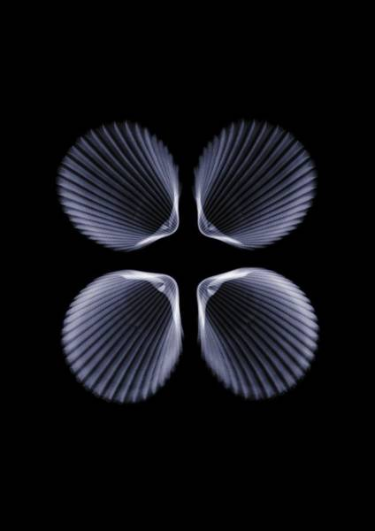 Cockle Wall Art - Photograph - X Ray Of Four Cockle Shells by Nick Veasey