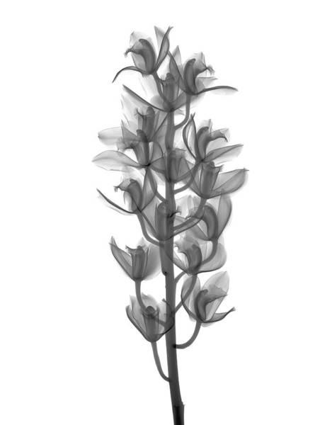 Cymbidium Photograph - X-ray Of Orchid Cymbidium. Orchidaceae by Nick Veasey