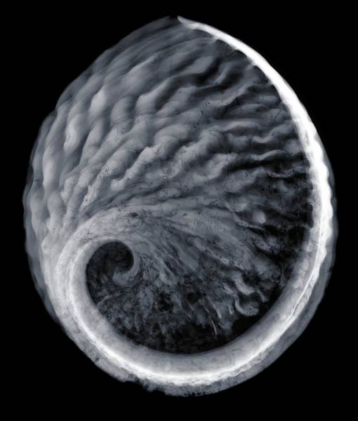 Wall Art - Photograph - X-ray Of Saddle Oyster Anomia Ephippium by Nick Veasey
