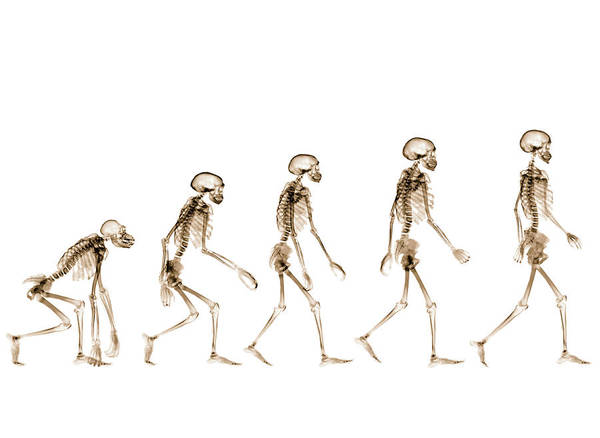 Evolution Photograph - X-rays Showing Stages Of Human by Nicholas Veasey