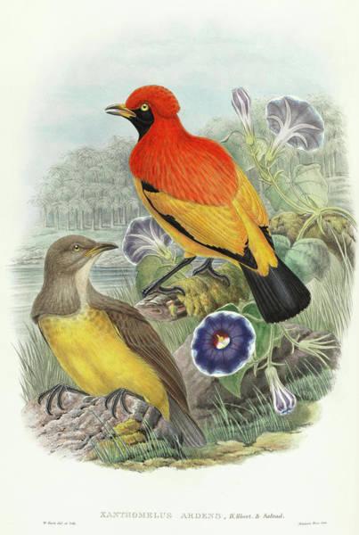 Ornithologist Wall Art - Painting - Xanthomelus Ardens by Richard Bowdler Sharpe