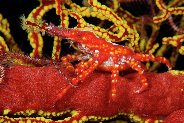 Wall Art - Photograph - Xenocarcinus Tuberculatus Xenocarcinus Conicus Camouflaged On A Red Gorgonian Gorgonacea Palawan by imageBROKER - SeaTops