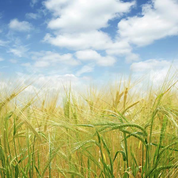 Montana State Photograph - Xl Barley Close-up by Sharply done