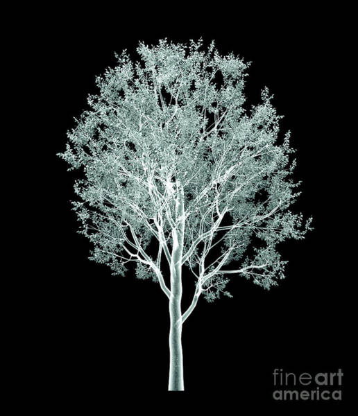 Image Wall Art - Digital Art - Xray Image Of A Tree Isolated On Black by Posteriori