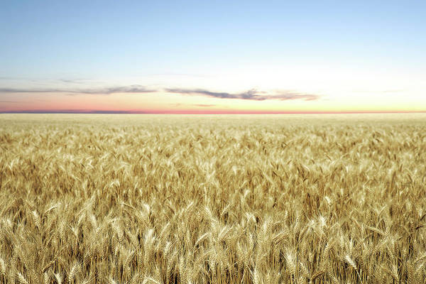 Landscape Photograph - Xxl Wheat Field Twilight by Sharply done