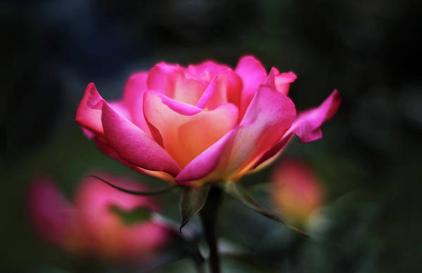 Yellow Rose Photograph - Rose Radiance by Jessica Jenney