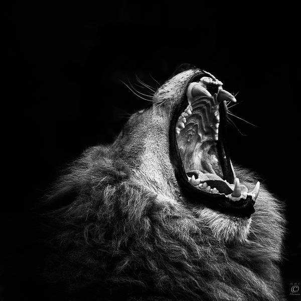 Black Background Photograph - Yawning Lion by © Christian Meermann