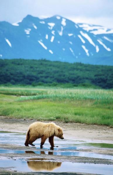 Born In The Usa Photograph - Yearling Brown Bear Cub Ursus Arctos In by Mark Newman