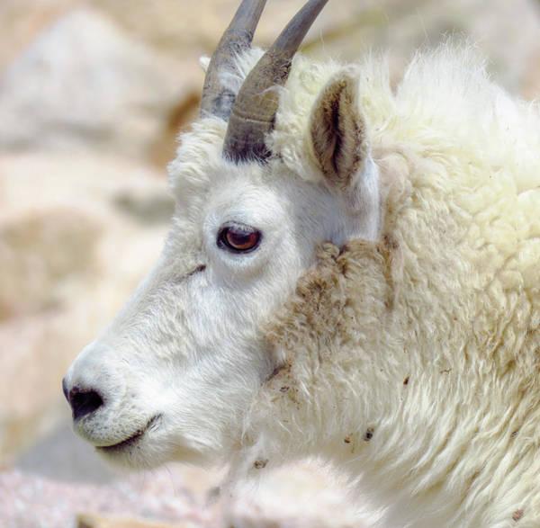 Wall Art - Photograph - Yearling Mountain Goat by Chad Vidas