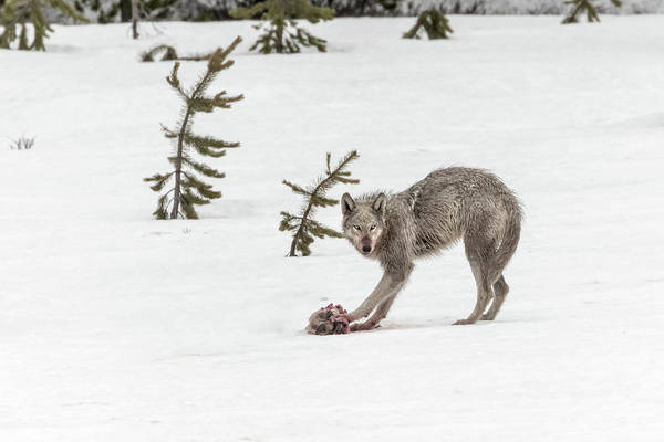 Photograph - Yearling Wolf by Ronnie and Frances Howard