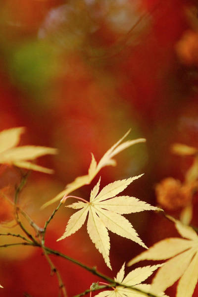 Vertical Abstract Photograph - Yellow Acer Leaves Against A Vibrant by Stephen Spraggon