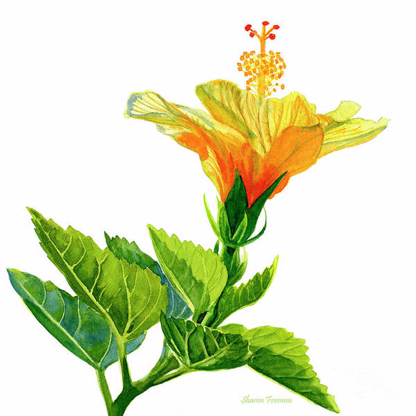 Wall Art - Painting - Yellow And Gold Hibiscus With Leaves ,quare by Sharon Freeman