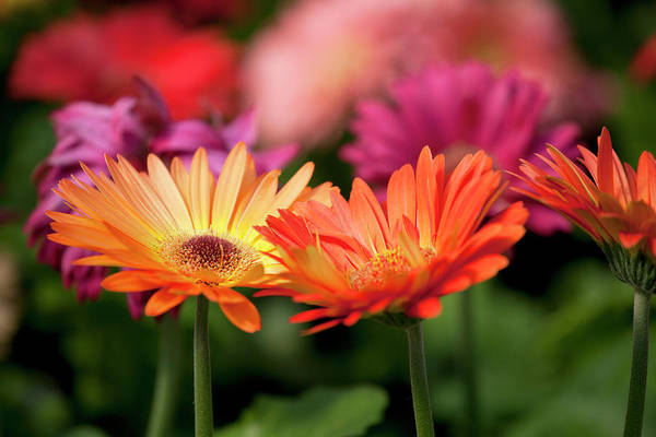 Daisy Photograph - Yellow And Orange Gerbera Daisies by Wholden