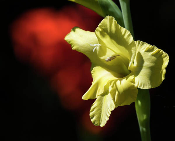 Photograph - Yellow And Orange Glads by Robert Potts