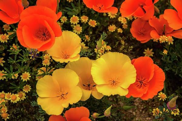 Photograph - Yellow And Orange Poppies - Superbloom 2019 by Lynn Bauer