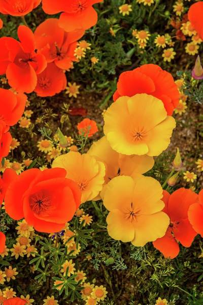 Photograph - Yellow And Orange Poppies Vertical - Superbloom 2019 by Lynn Bauer