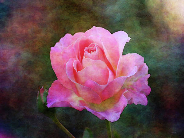 Photograph - Yellow And Pink Rose 5531 Idp_2 by Steven Ward